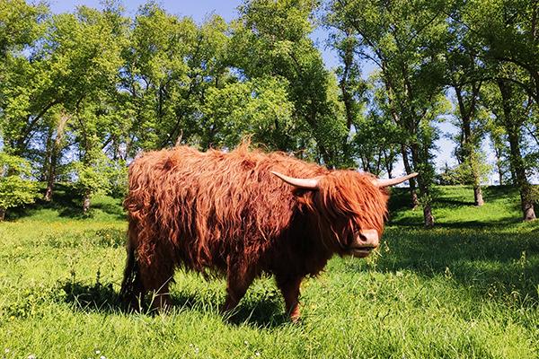 hooglander koe
