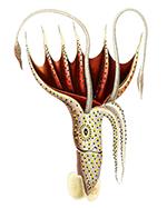 Umbrella Squid